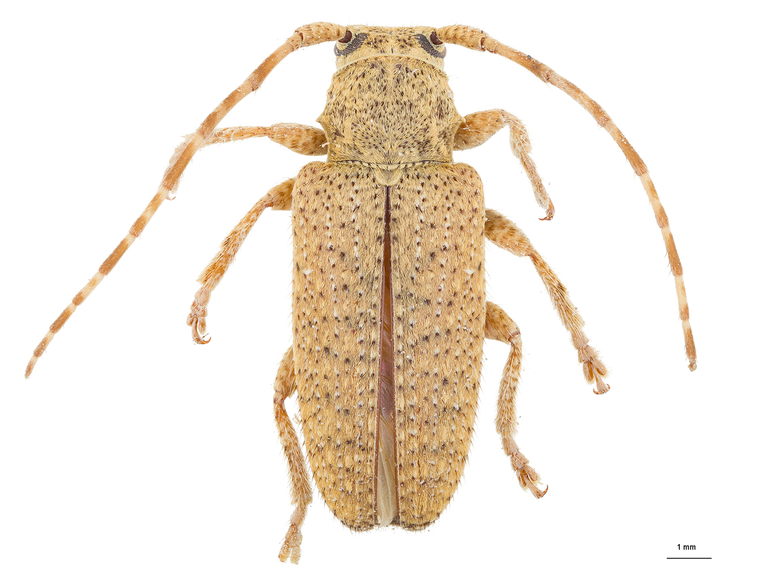 Drycothaea sp.