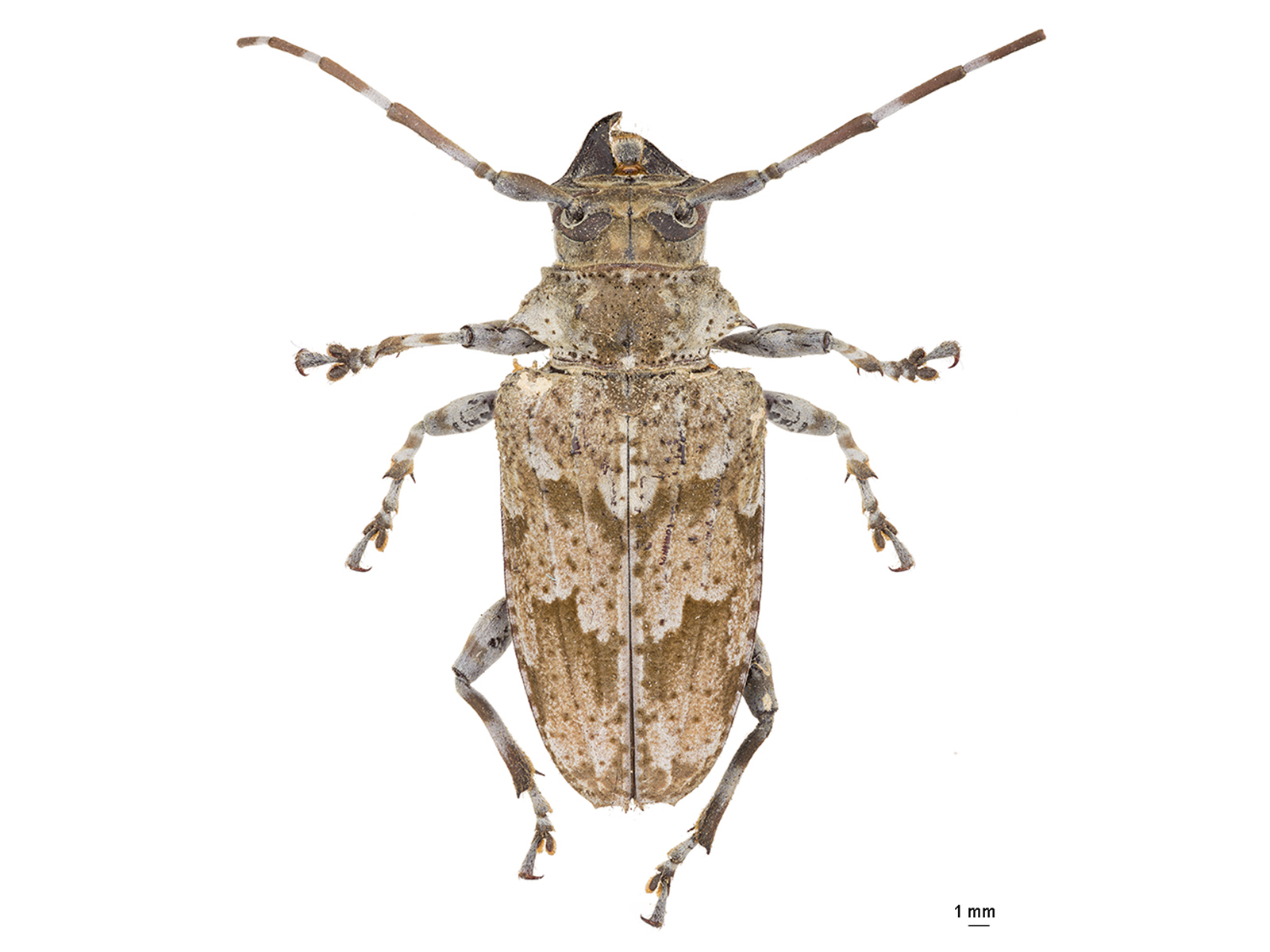 Dryoctenes scrupulosus(Germar, 1824)