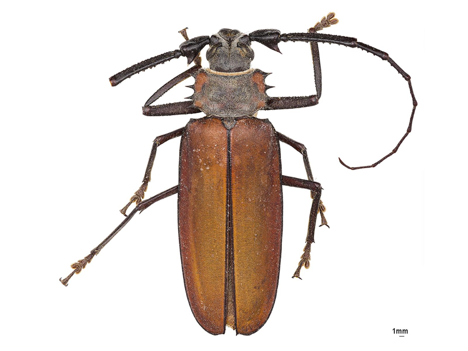 Enoplocerus armillatus (Linnaeus, 1767)
