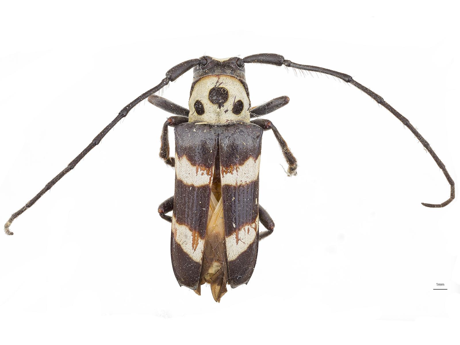 Oedudes spectabilis(Drury, 1782)