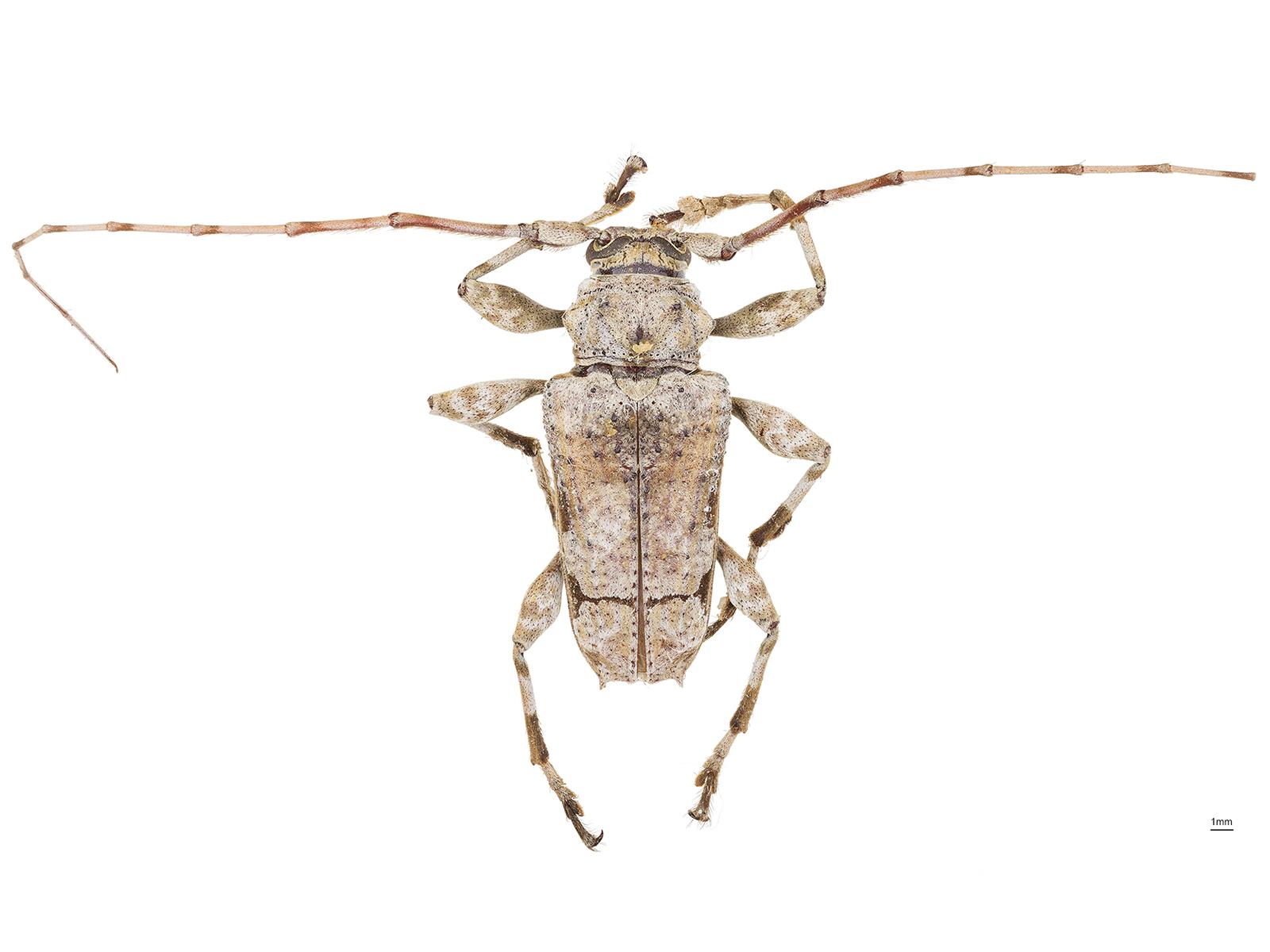 Oreodera glauca(Linnaeus, 1758)