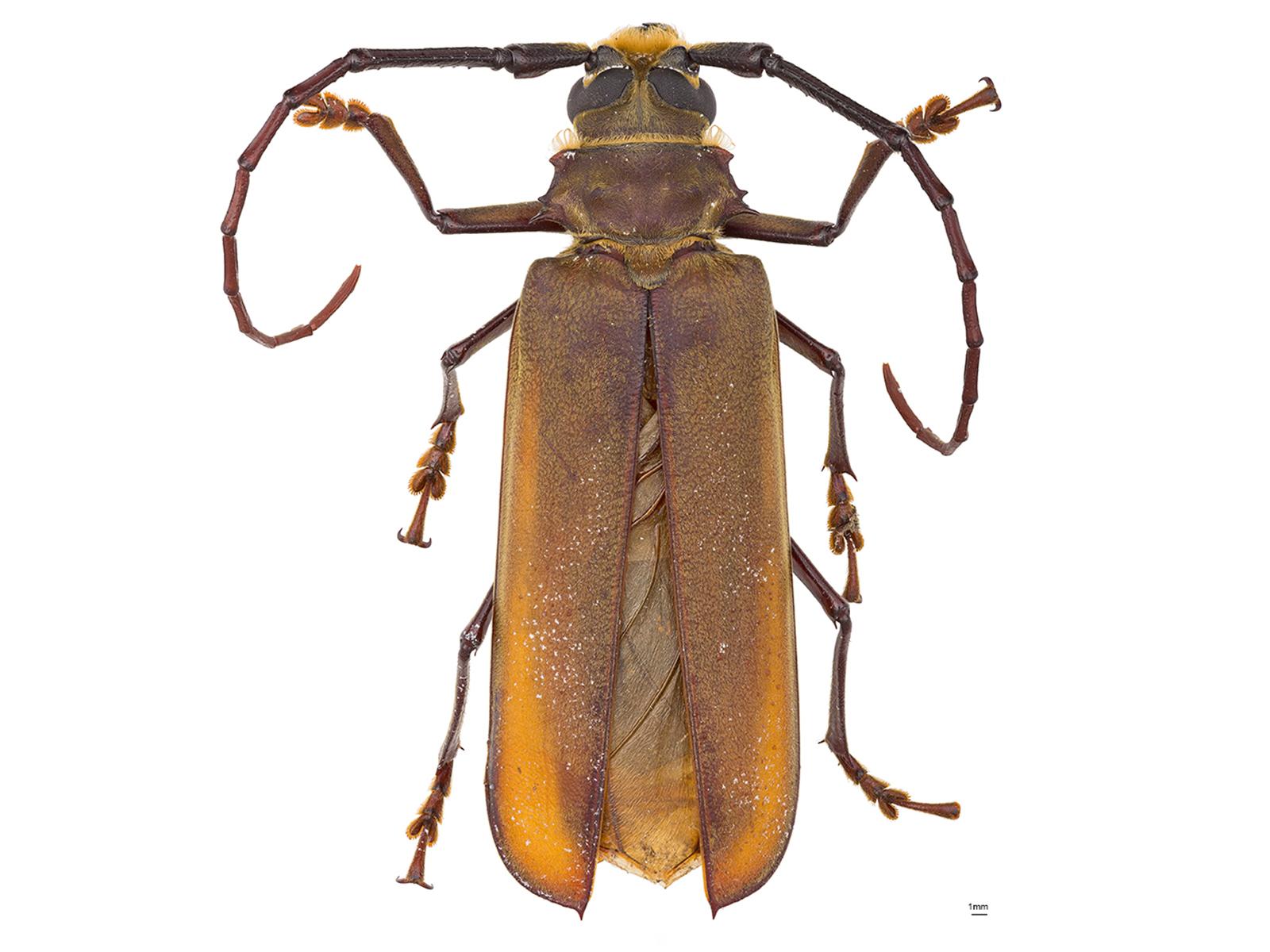 Orthomegas cinnamomeus (Linnaeus, 1758)
