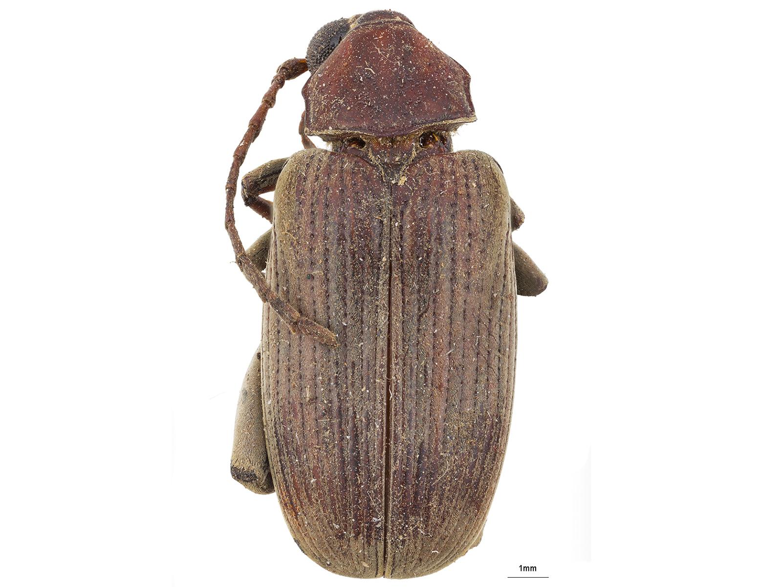 Caryobruchus sp.