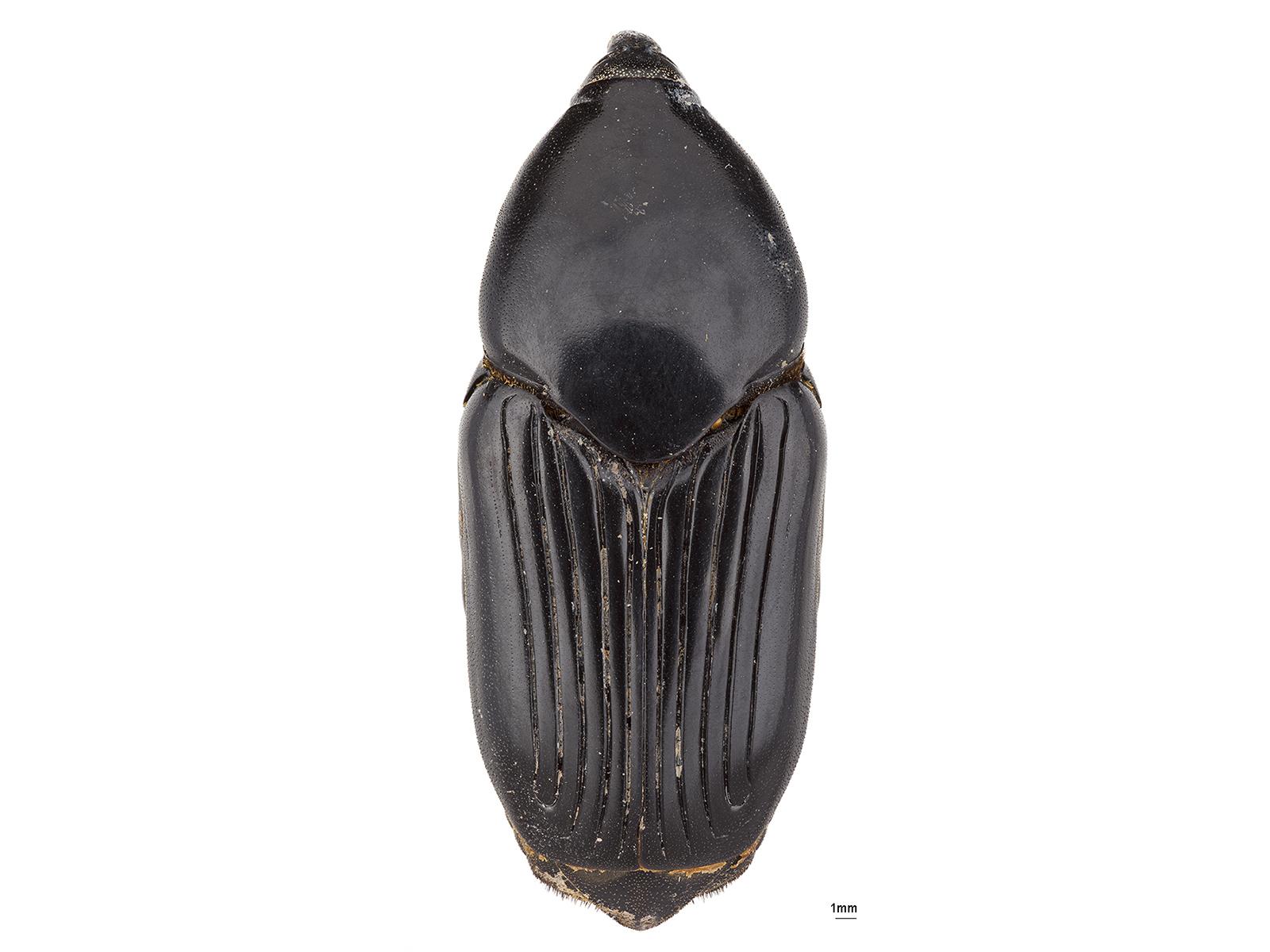 Dynamis borassi(Fabricius, 1801)