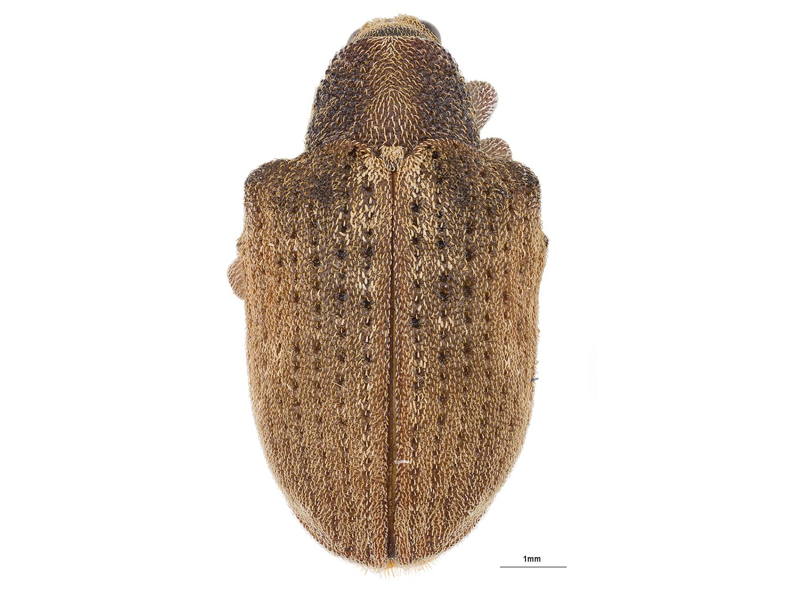 Gonipterus platensis(Marelli, 1926)