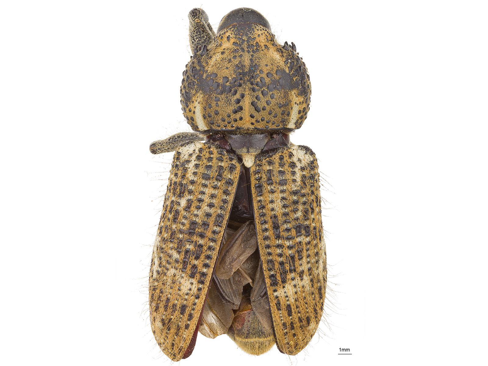 Odontoderes spinicollis(Boheman, 1836)