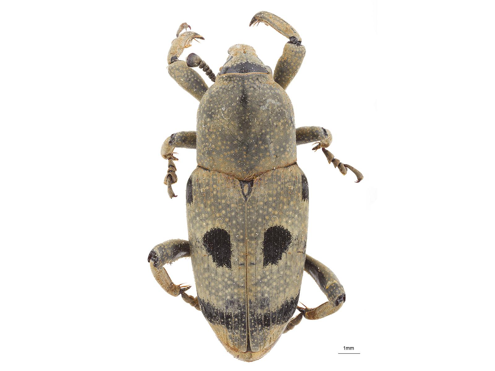 Rhodobaenus quadripunctatus(Chevrolat, 1882)