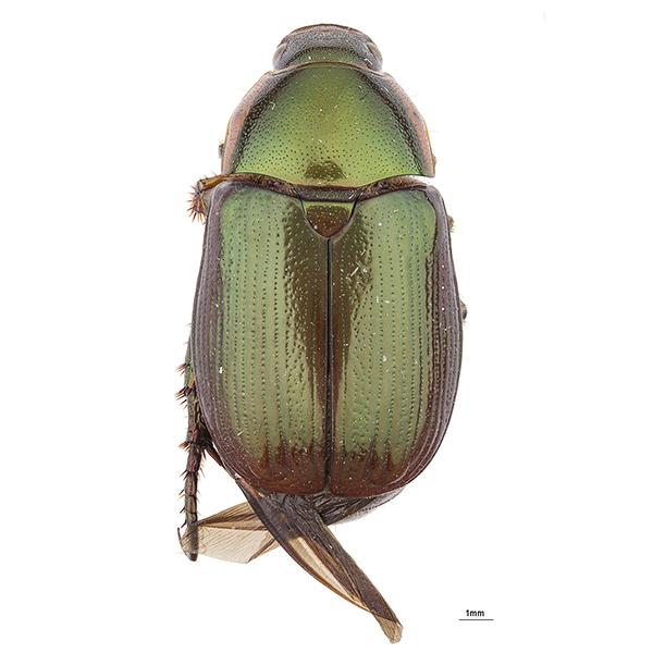 Callistethus sp.