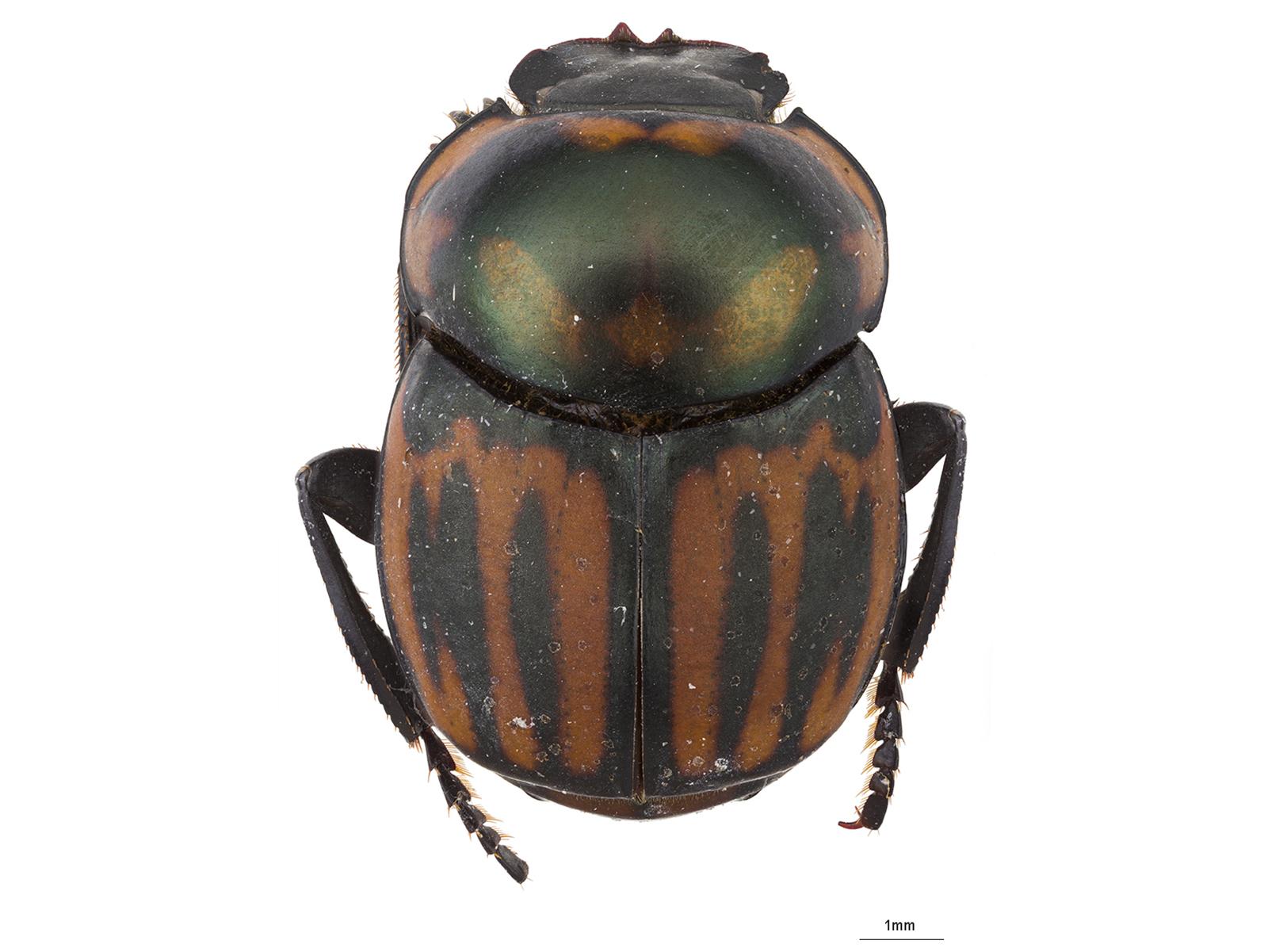 Canthon septemmaculatus var. linearis Schmidt, 1920