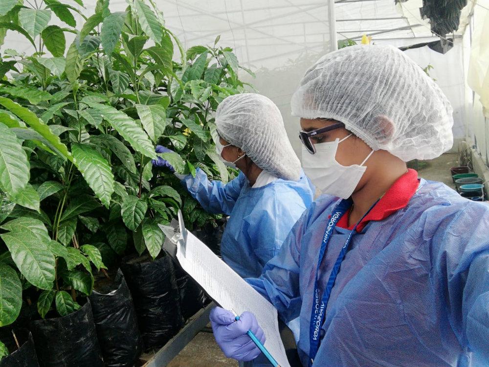 AGROSAVIA adelanta estudios de investigación para establecimiento y evaluación de materiales genéticos élite de café canéfora en Colombia