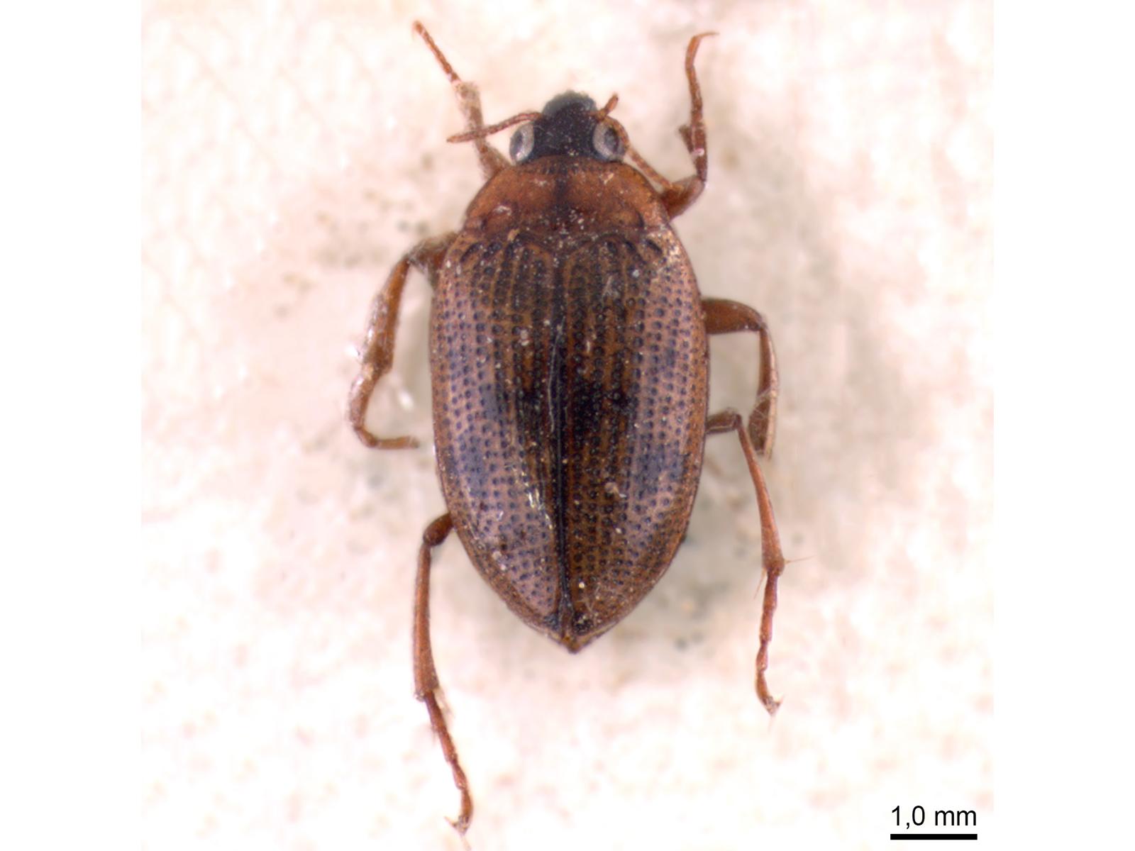 Haliplus lineatocollis (Marsham, 1802)