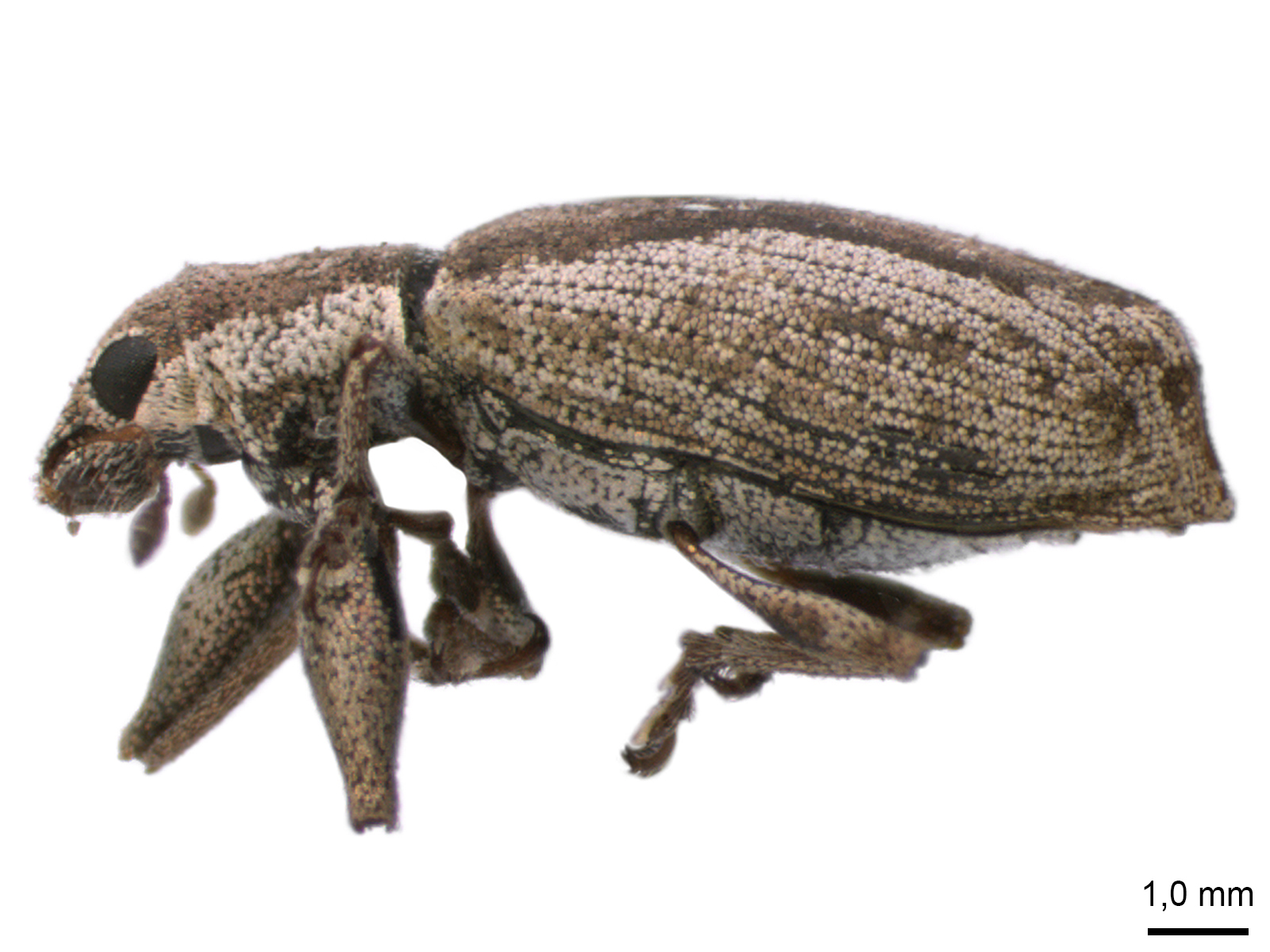 Pandeleteius spp.
