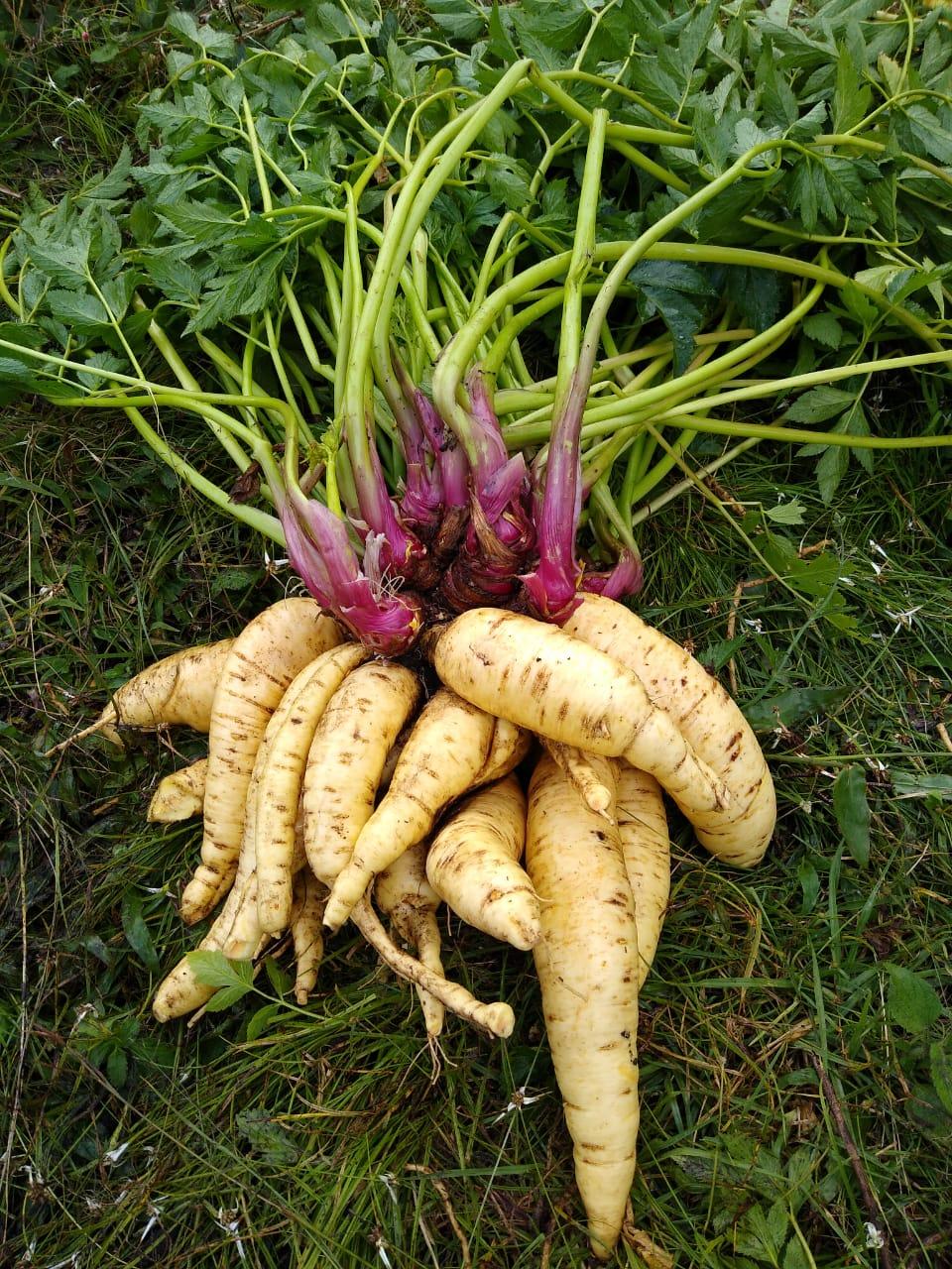 AGROSAVIA La 22 variedad de arracacha amarilla y de alta producción