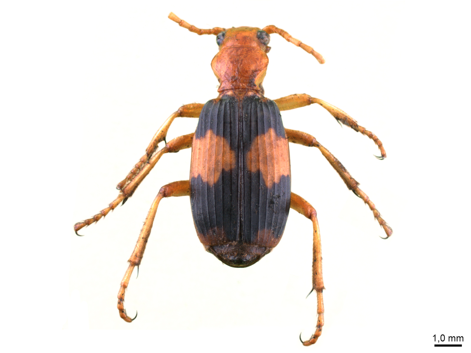 Pheropsophus aequinoctialis (Linnaeus, 1763)