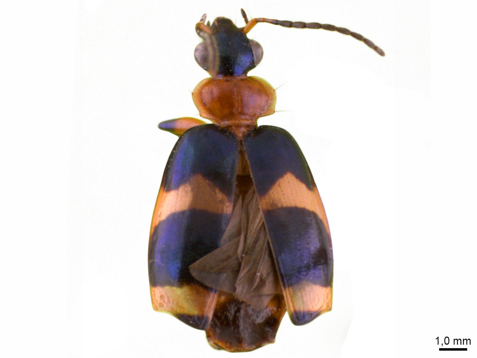 Lebia spp.