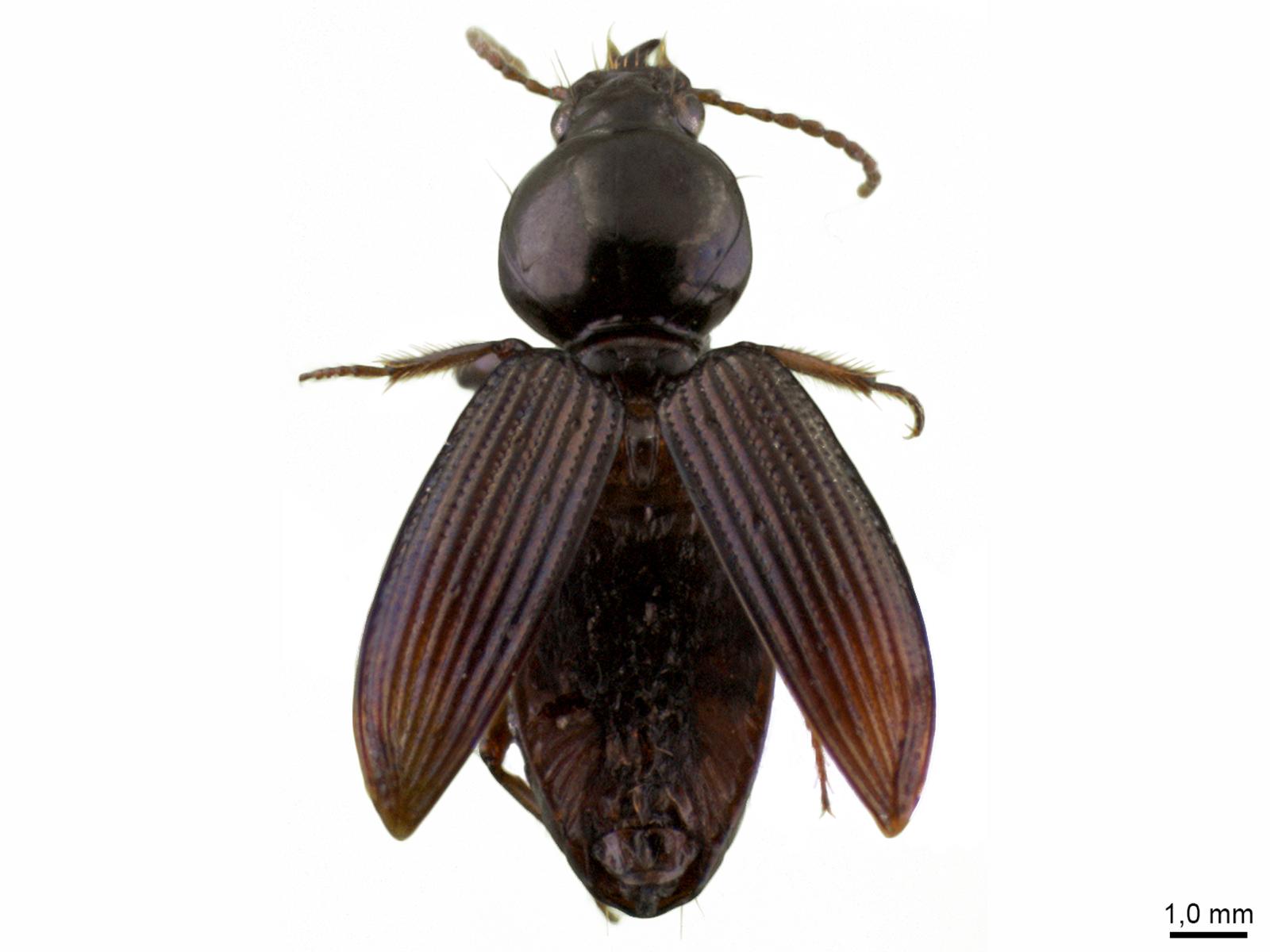 Aspidoglossa spp.