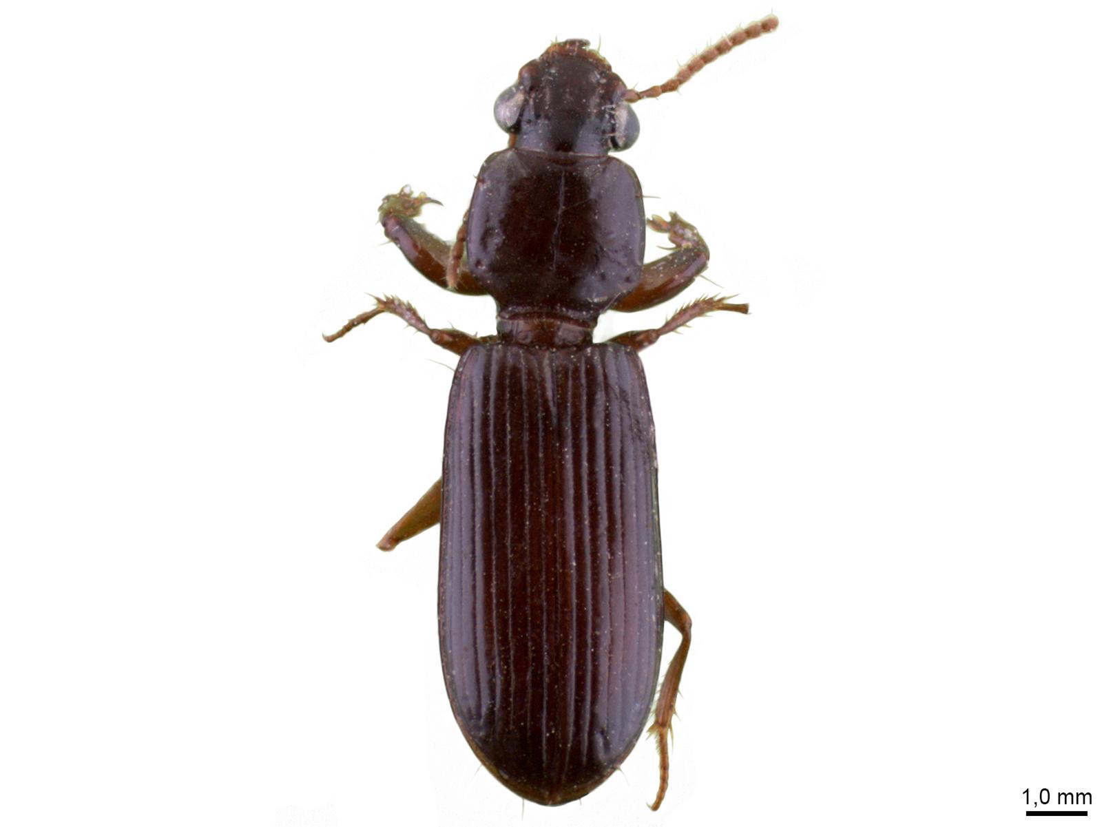Clivina spp.