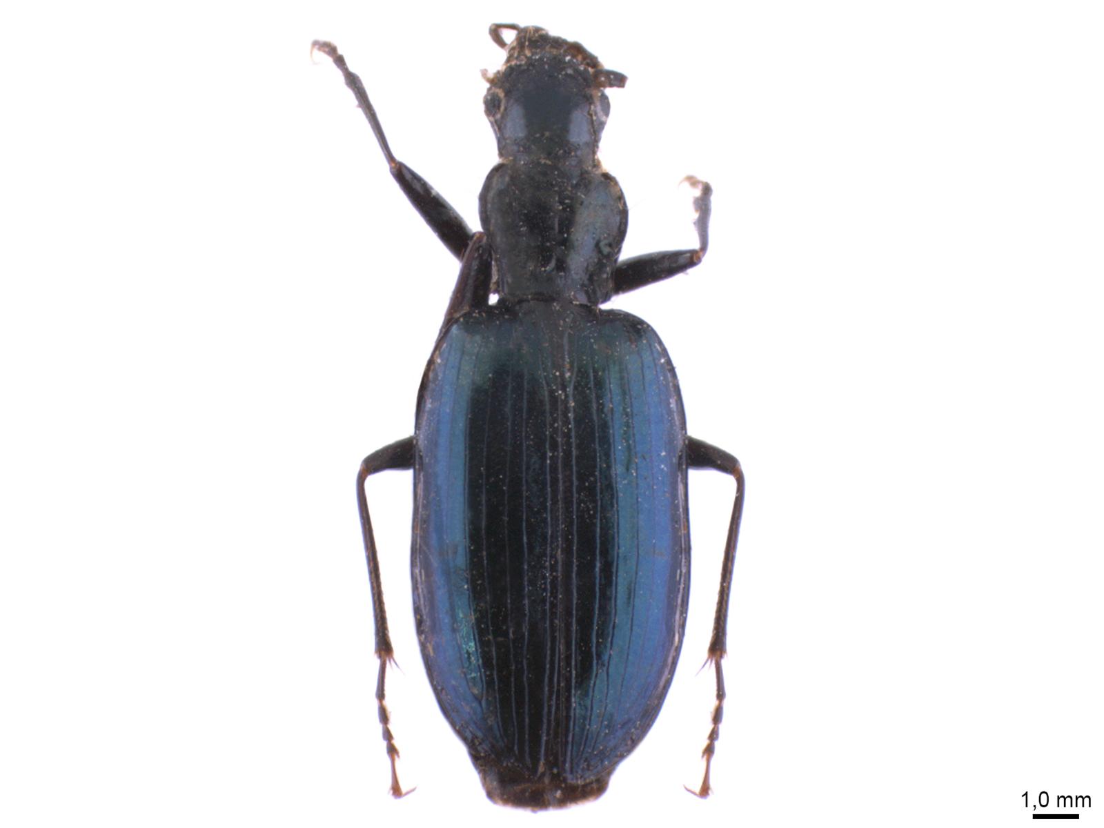 Glyptolenus spp.