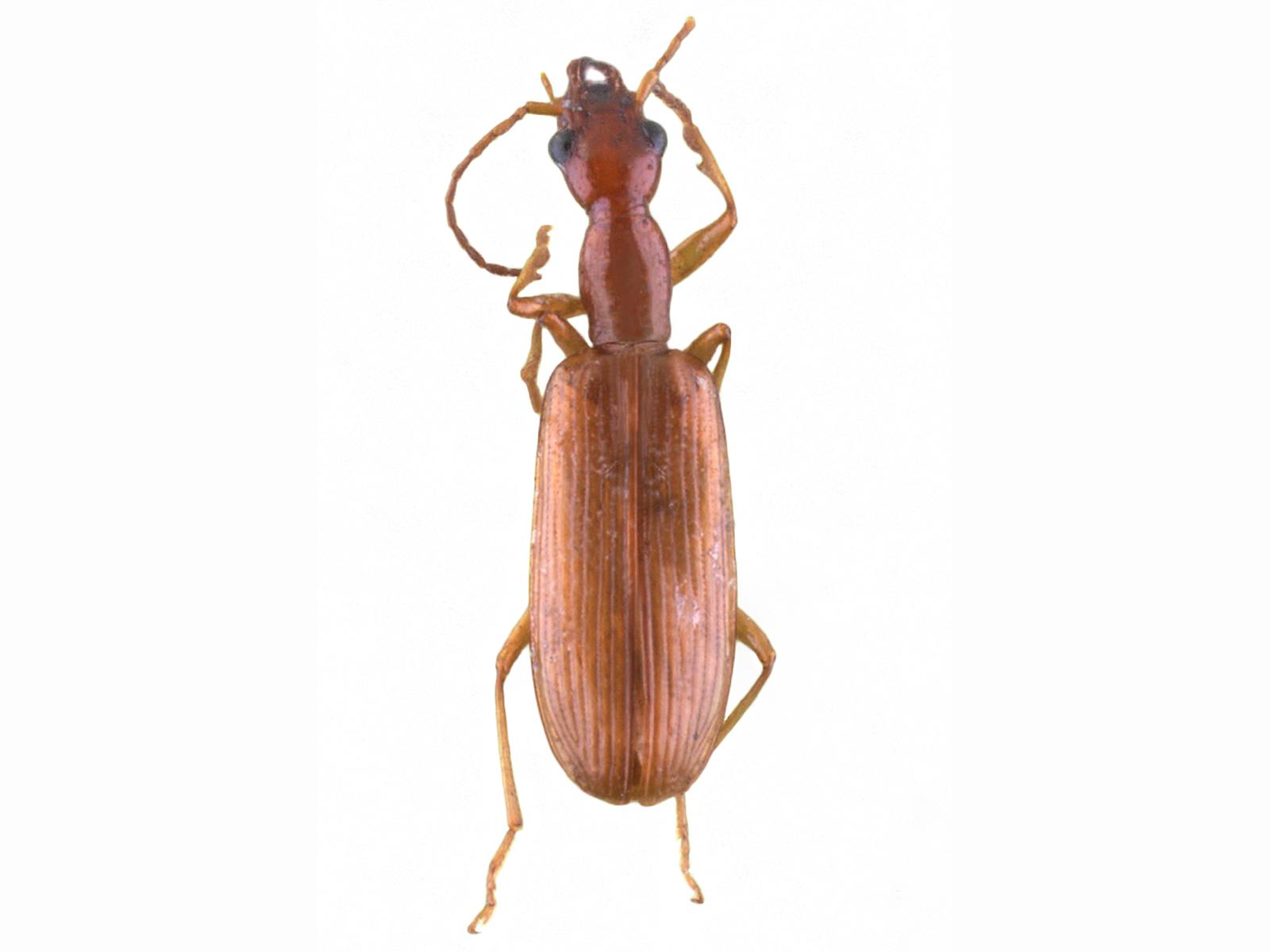 Leptotrachelus spp.