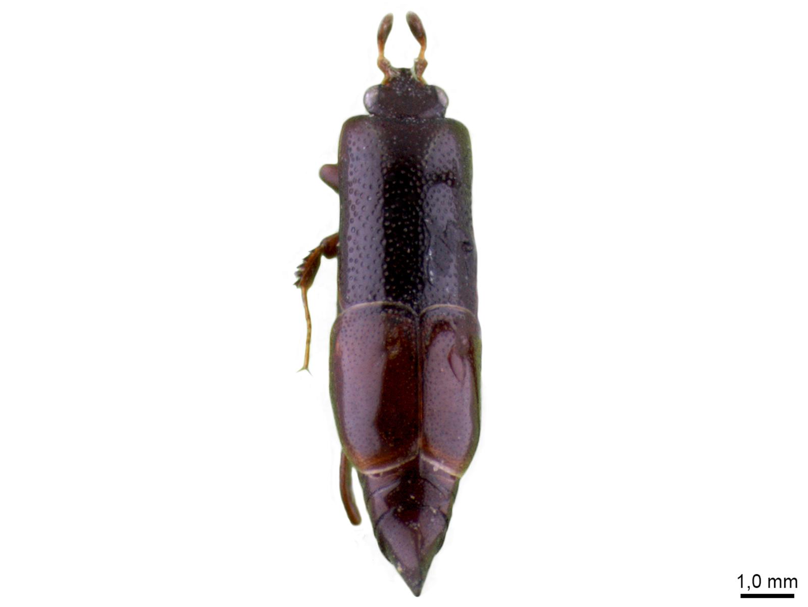 Trypanaeus sp.