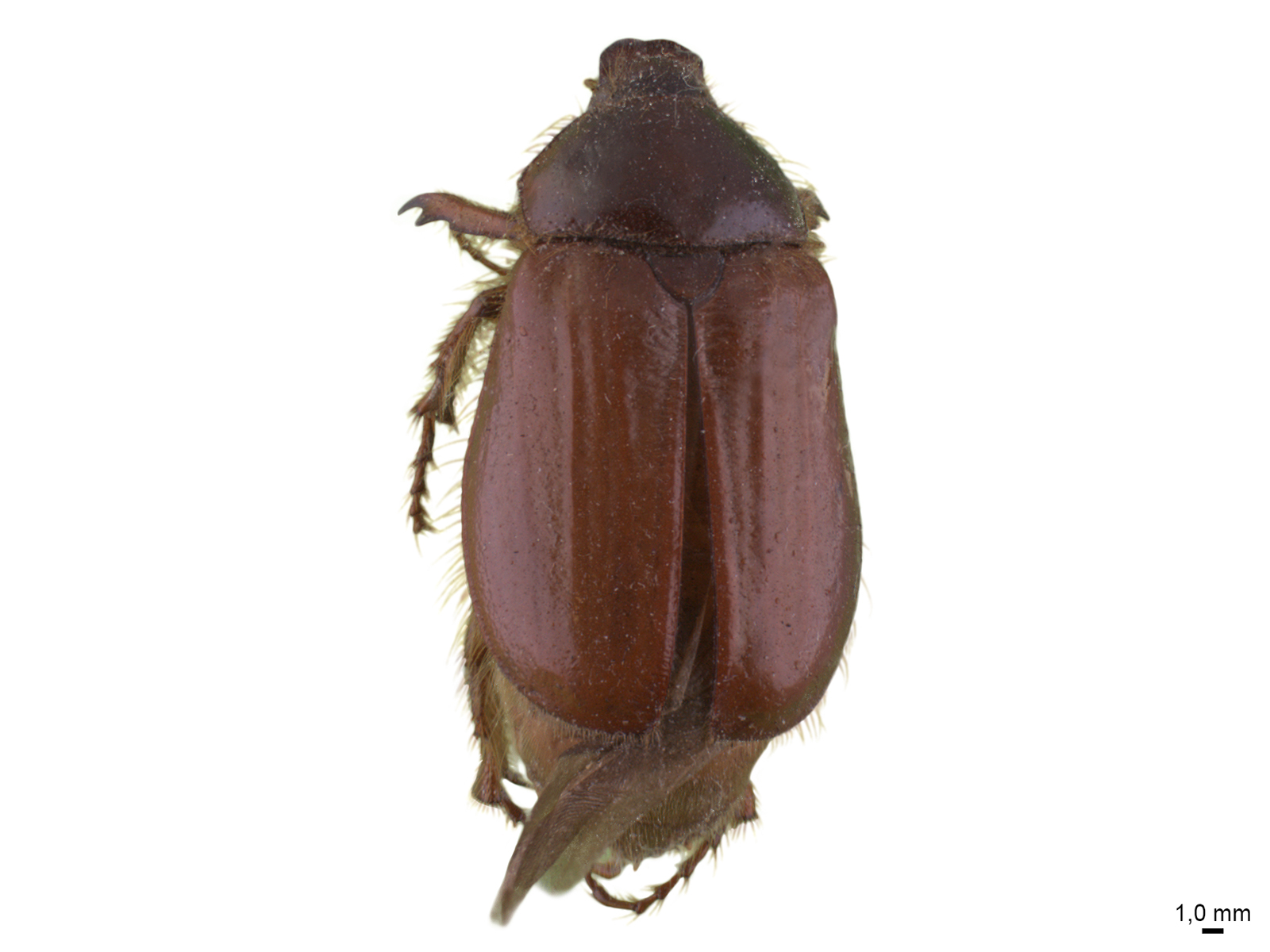 Paulosawalla ursinus (Blanchard, 1850)