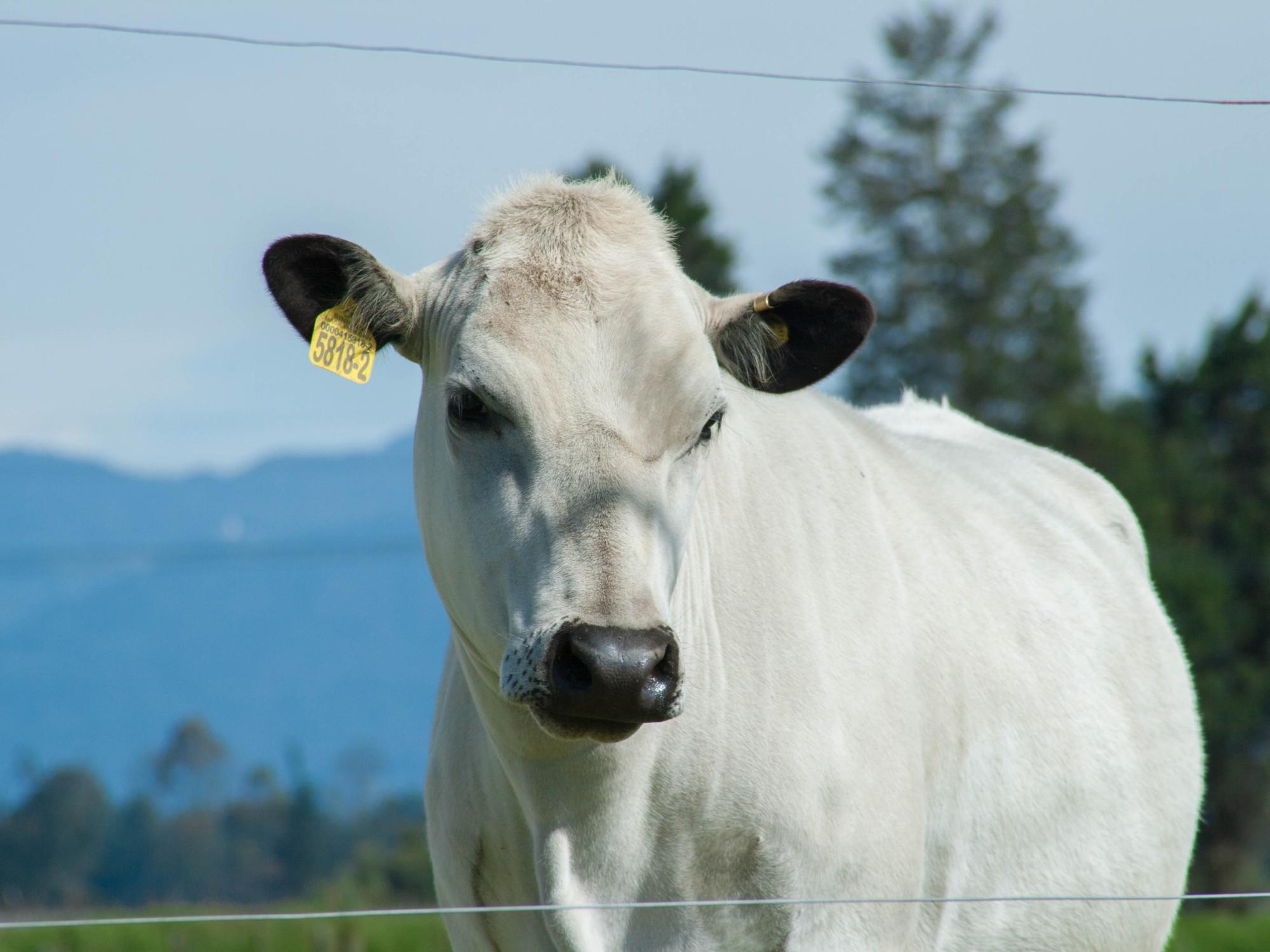 El Blanco Orejinegro (BON), alternativa de producción sostenible para el trópico colombiano
