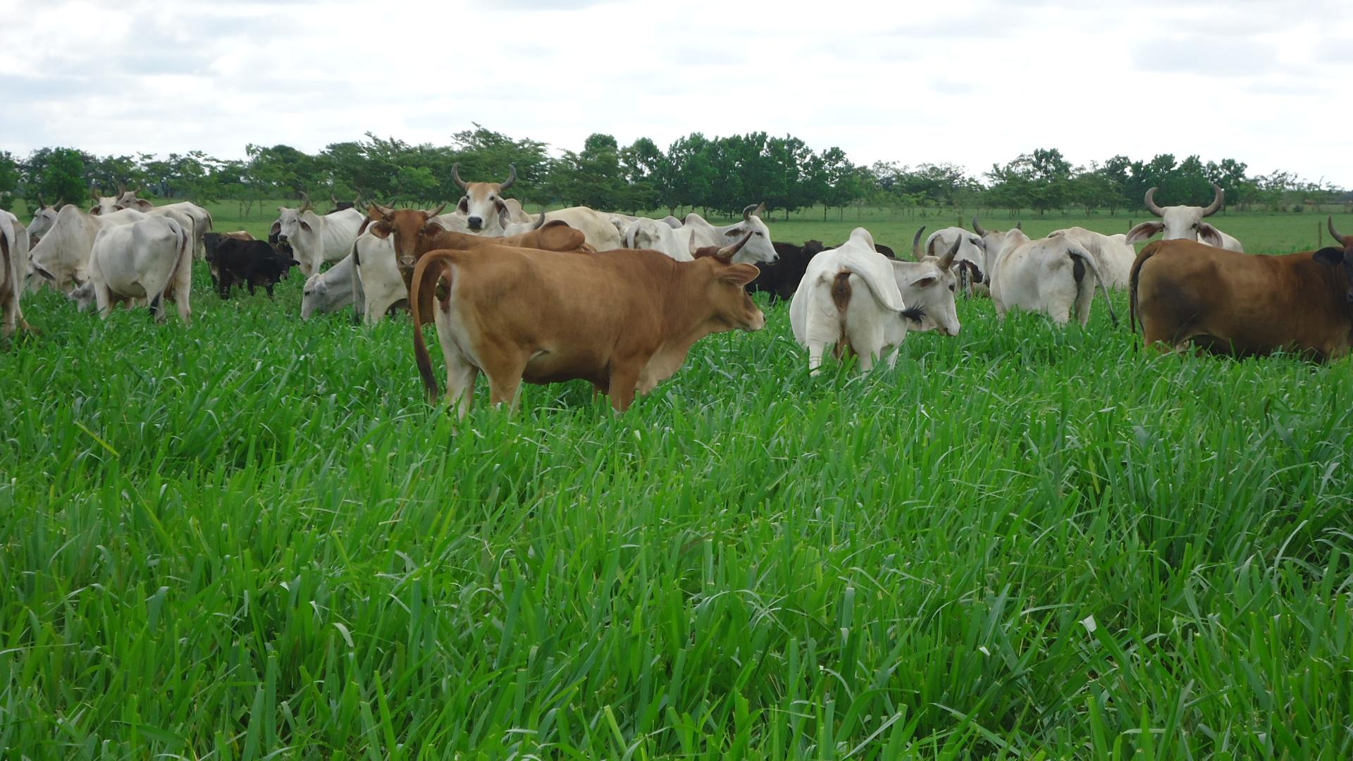 Recomendaciones sobre el uso y manejo de pasto Toledo (Brachiaria brizantha CIAT 26110). Gramínea de crecimiento vigoroso para intensificar la ganadería colombiana