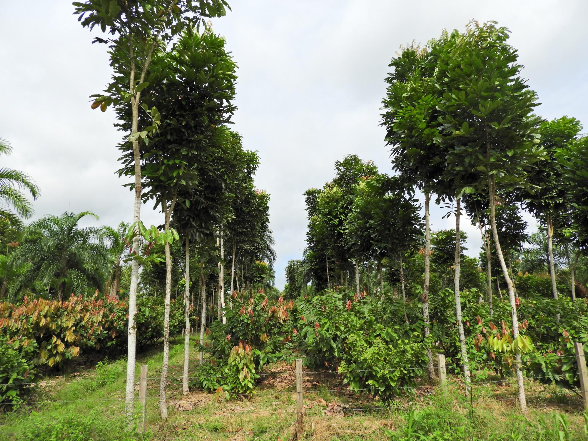 En el día del árbol, hablemos sobre el tangare