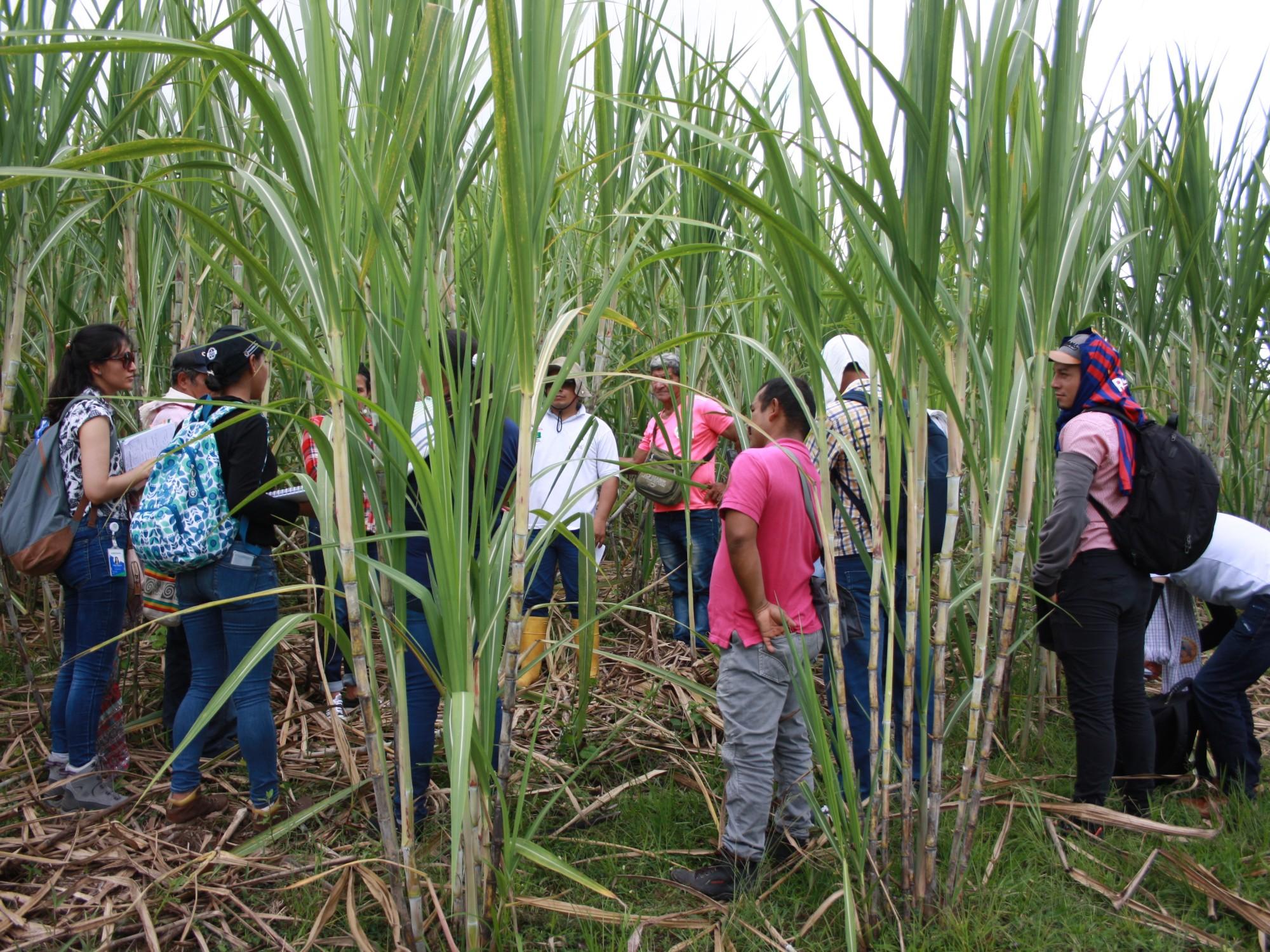 AGROSAVIA evalúa costos socioeconómicos y ambientales de  los modelos productivos de caña en Colombia