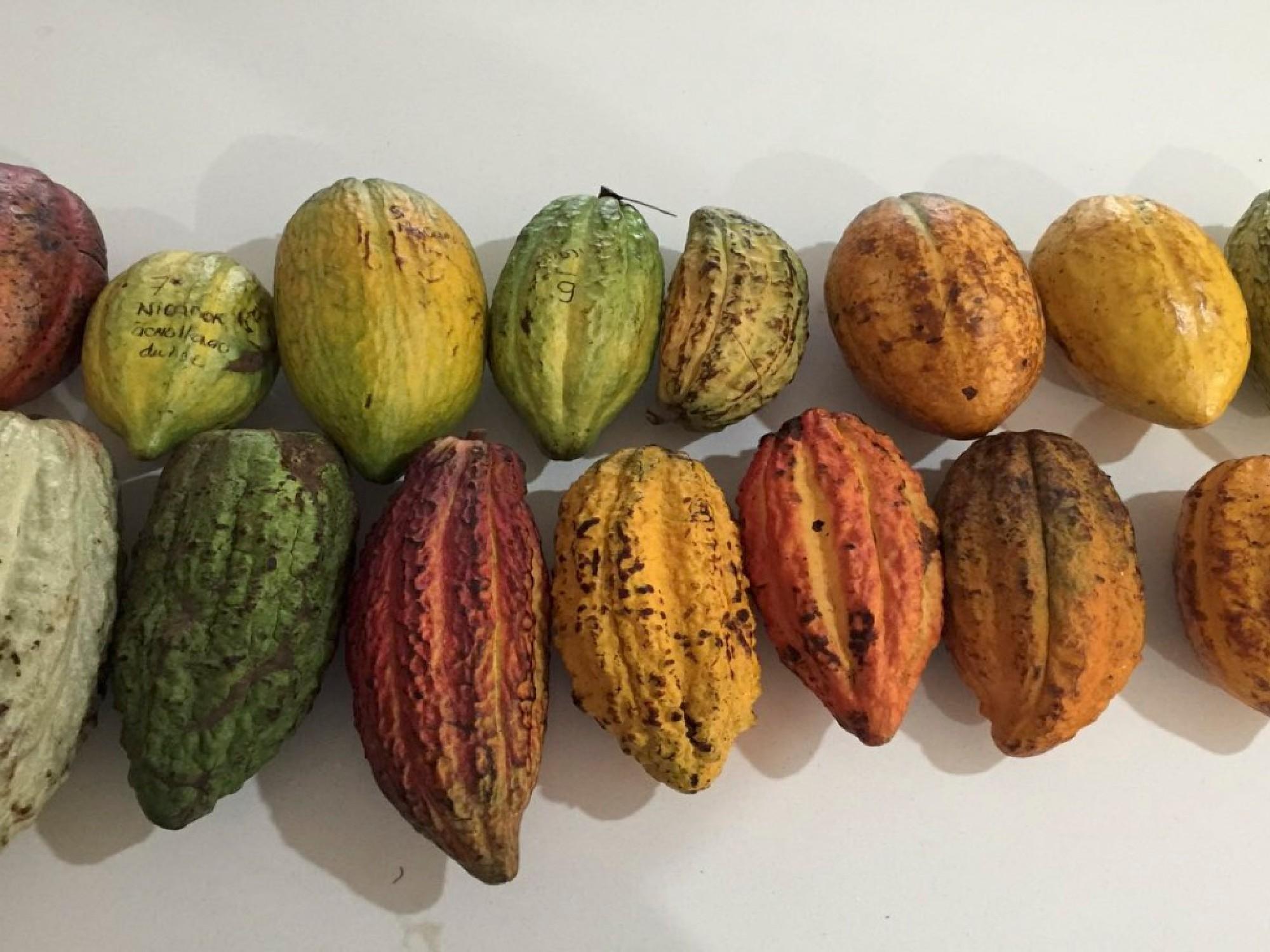 Estudio de asociación de genoma del cacao revela nuevos genes candidatos asociados a la productividad