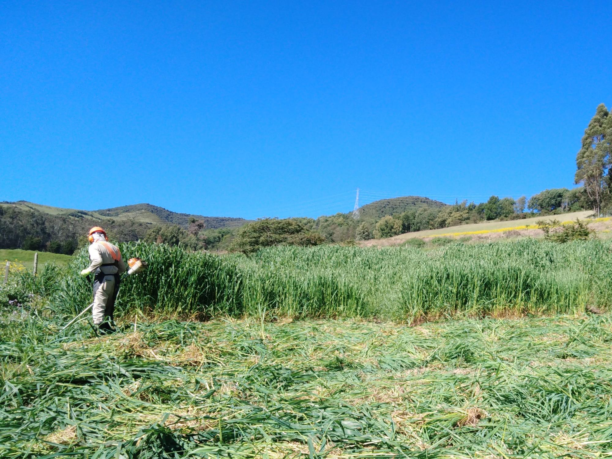 AGROSAVIA presenta alternativa de alimentación y nutrición de bovinos para tiempos de escasez de pasturas