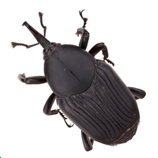 Rhynchophorus Palmarum 616X616