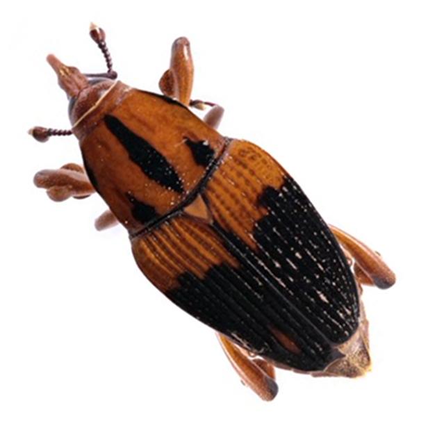 Matamasius Hemipterus 616X616