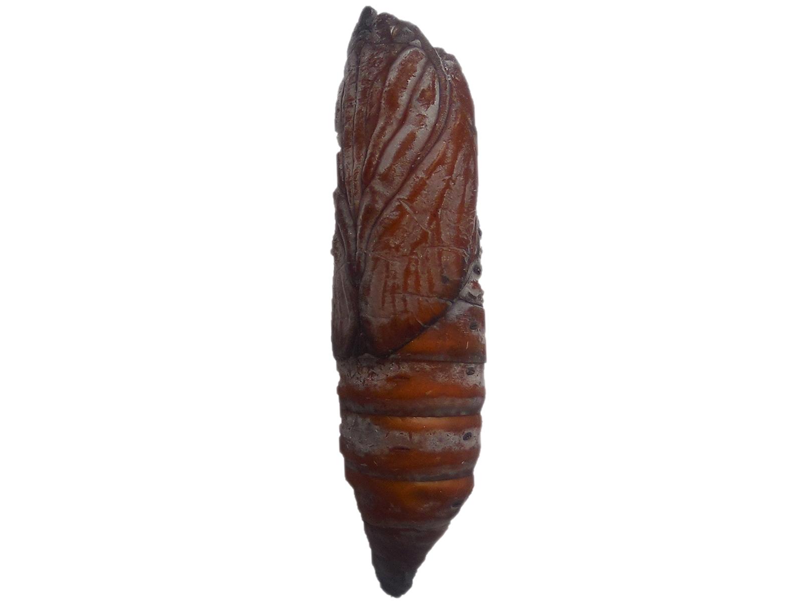 Myelobia smerintha (Hubner, 1821)