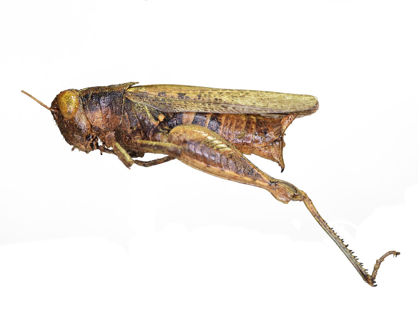 Aidemona azteca (Saussure, 1861)
