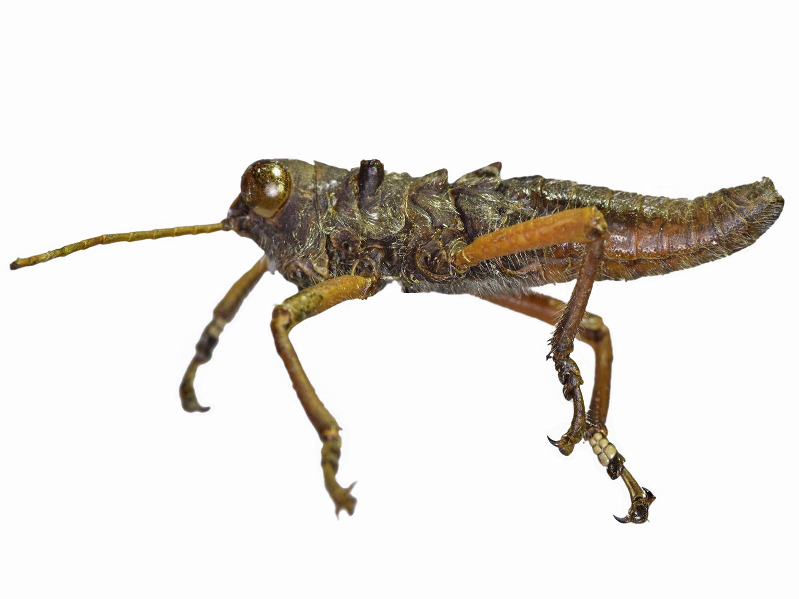Muyscacris spp.