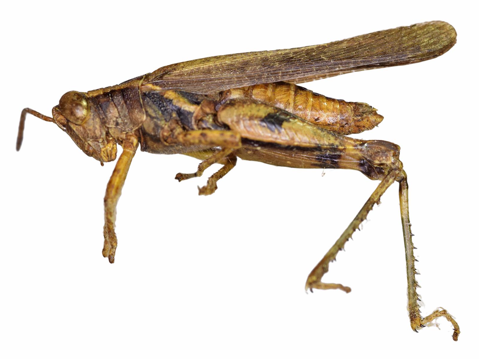 Omalotettixobliquus(Thunberg, 1824)