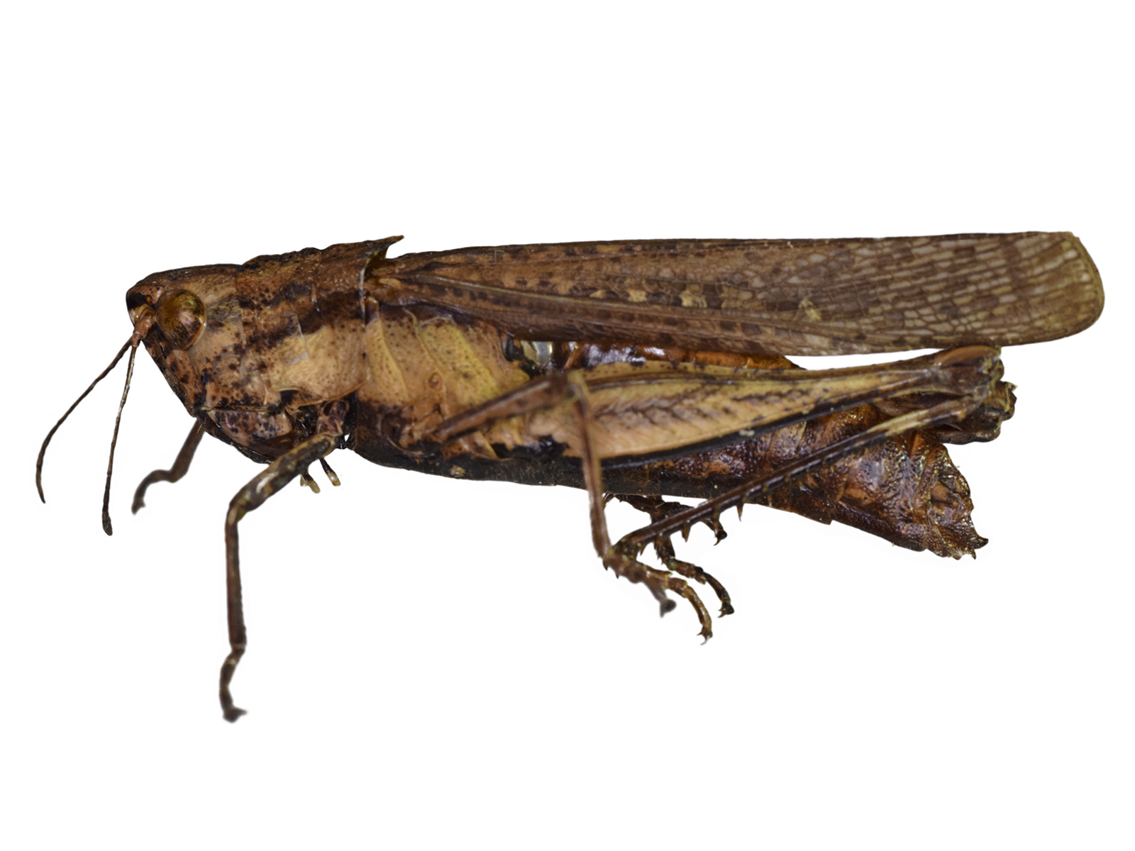 Peruvia nigromarginata (Scudder, 1875)
