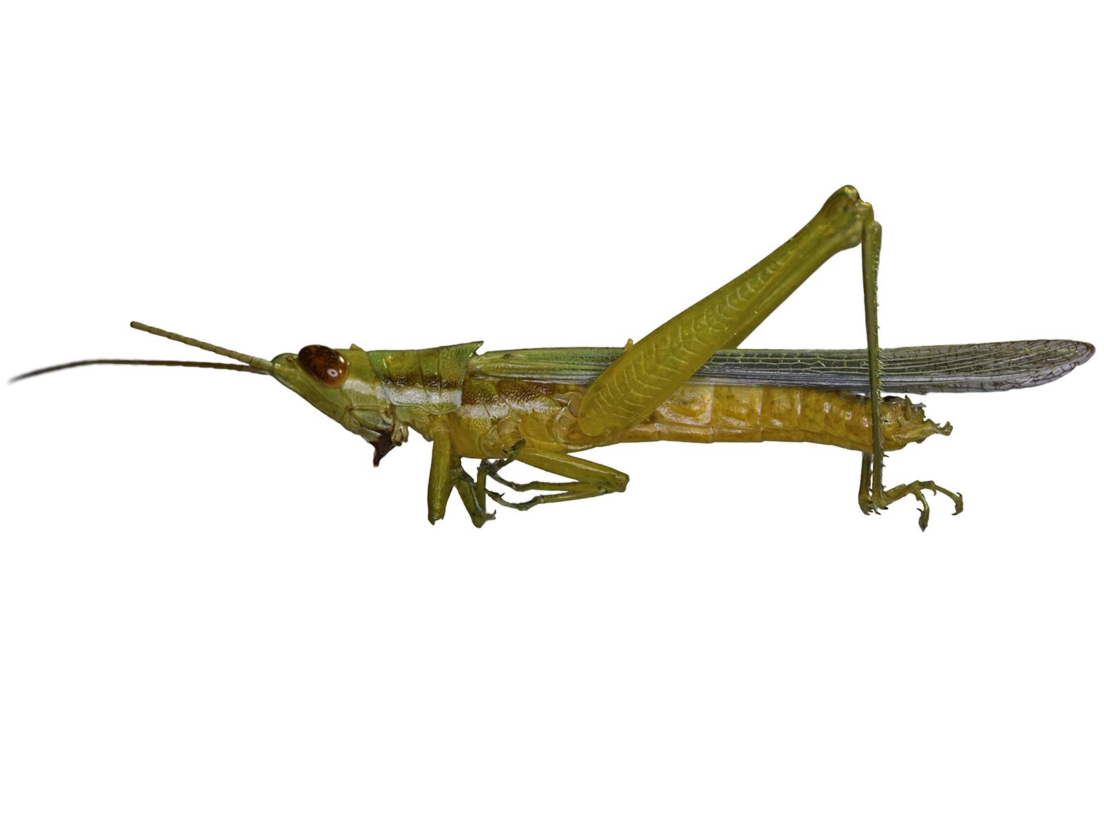 Stenacris vitreipennis (Marschall, 1836)