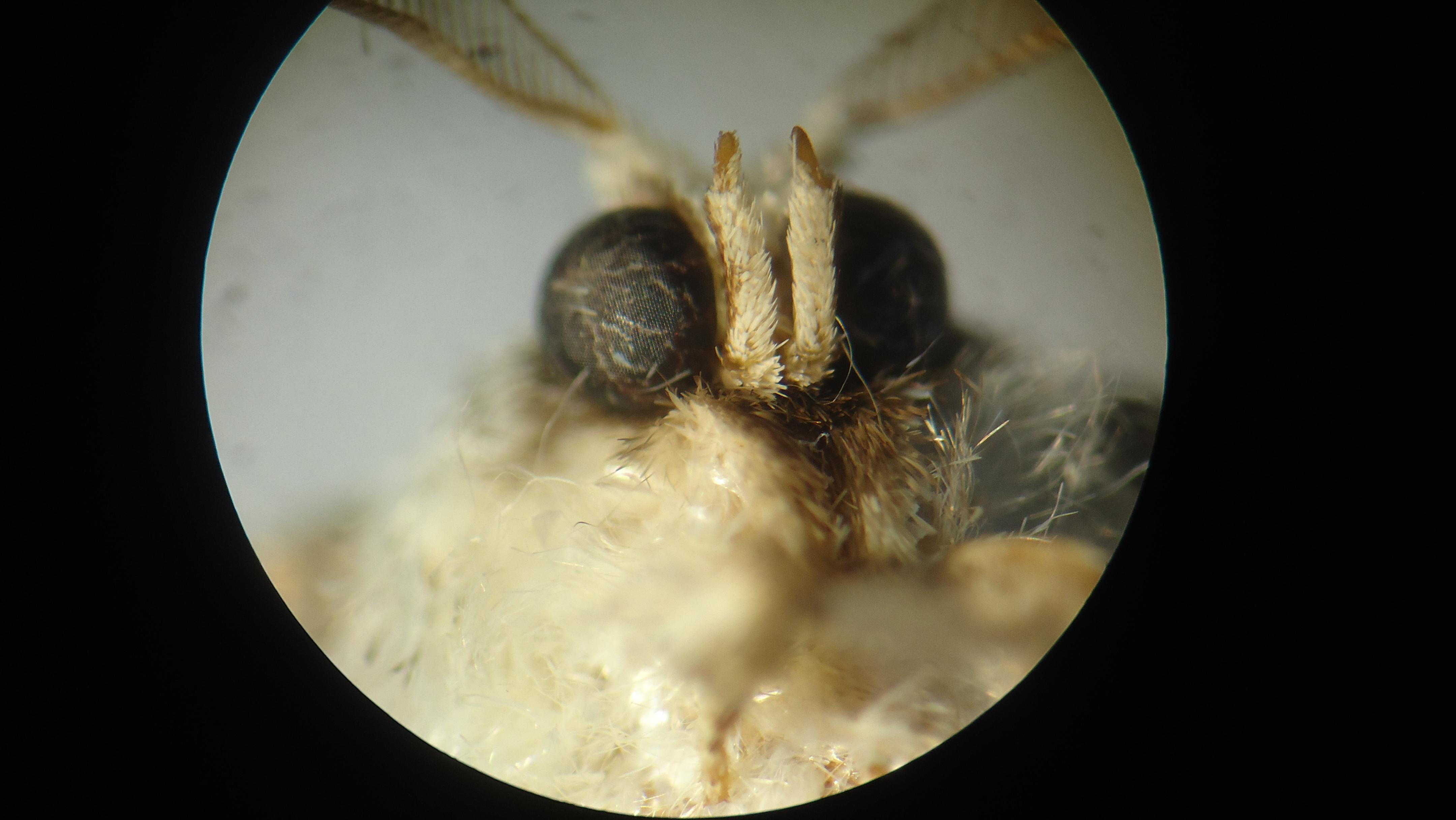 Investigadores de AGROSAVIA determinan la biología y los enemigos naturales de una nueva plaga para la guayaba en Colombia