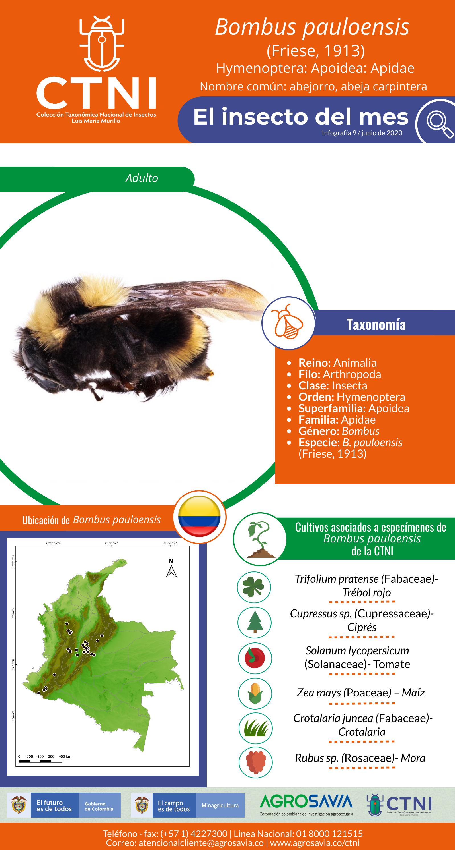 Bombus Pauloensis2 (1)