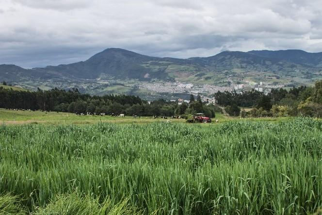 Avena forrajera altoandina para mejorar la competitividad y sostenibilidad de los sistemas productivos lecheros del altiplano nariñense