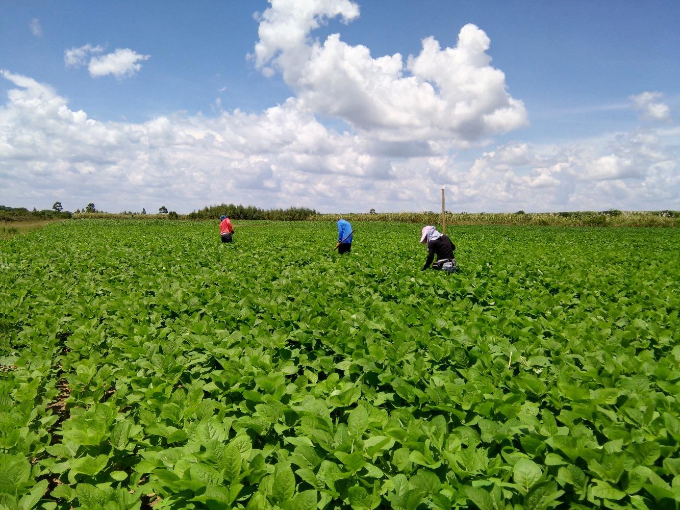 Alianza de investigación para cultivos de maíz-soya entre INTA, FENALCE y AGROSAVIA