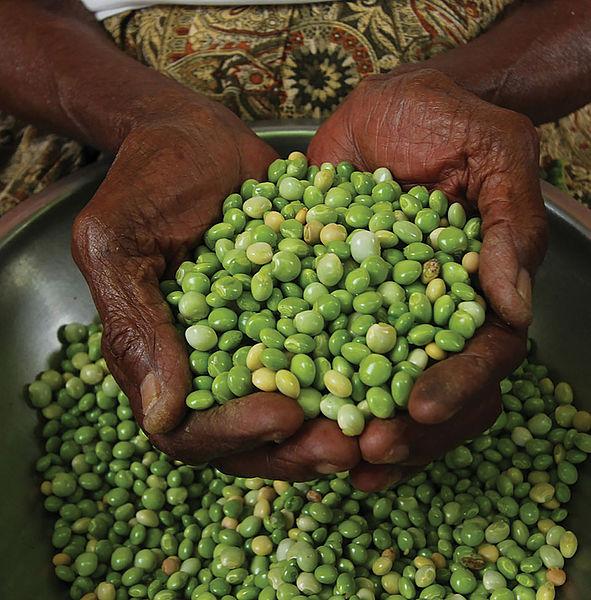 Fríjol guandúl, alternativa para impulsar productividad y garantizar seguridad alimentaria en el Caribe colombiano