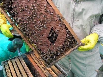Identificación, manejo y control del ácaro Varroa destructor en el marco de sistemas de producción apícola.