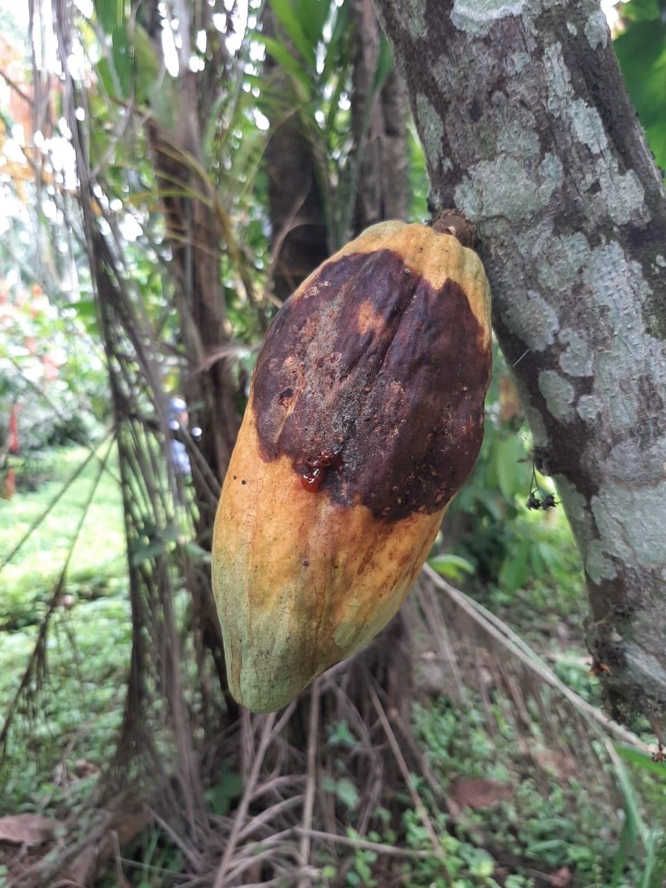 Investigadores de AGROSAVIA publican artículo científico en la revista Plant Methods