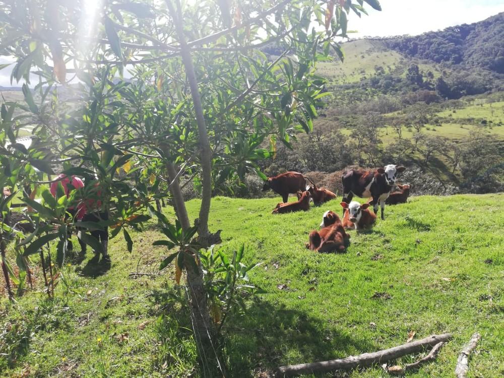 Gracias a convenio entre MADR y AGROSAVIA, productores del Cauca fortalecen sistemas de producción bovina