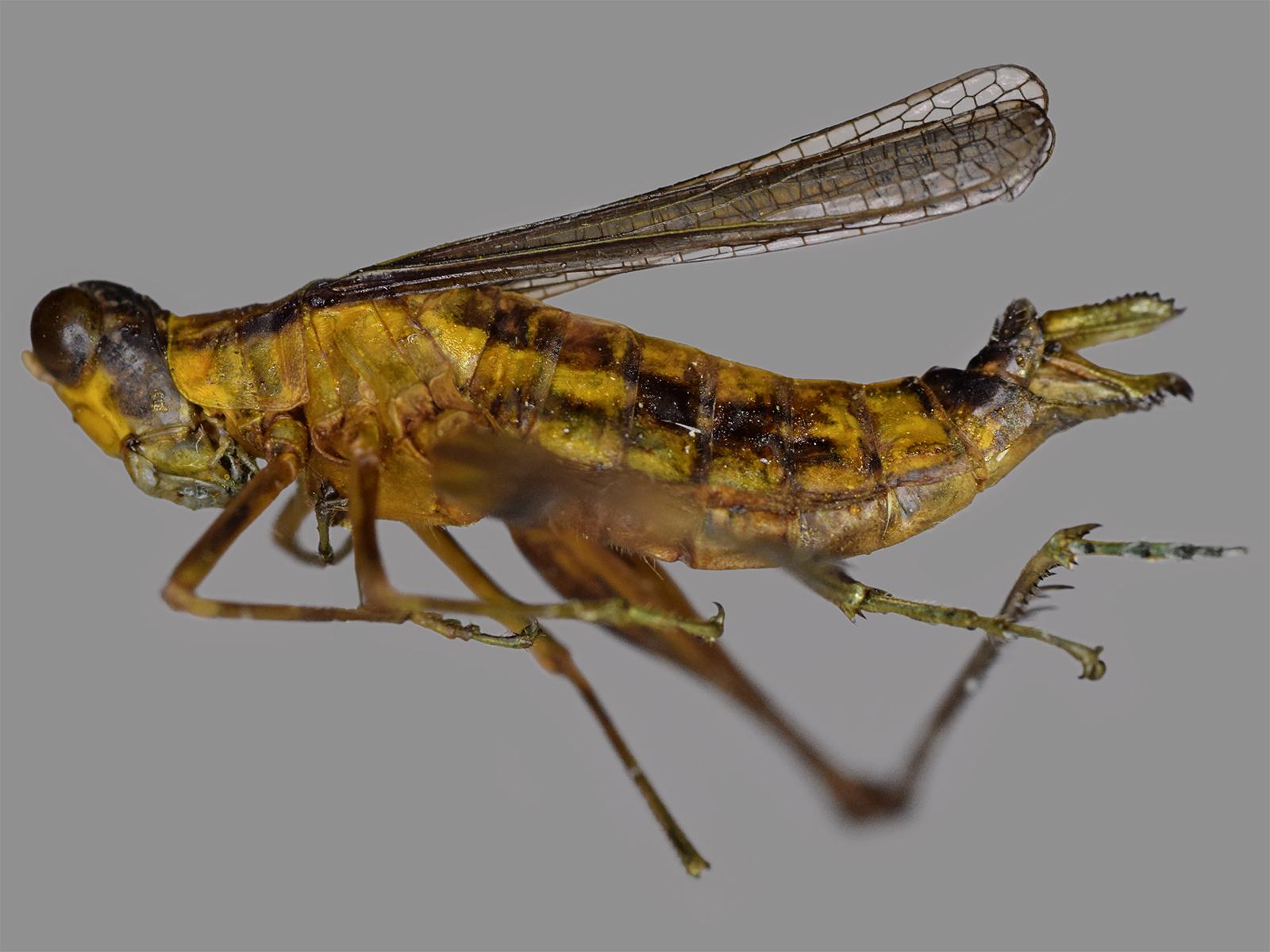 Eumastax sp.