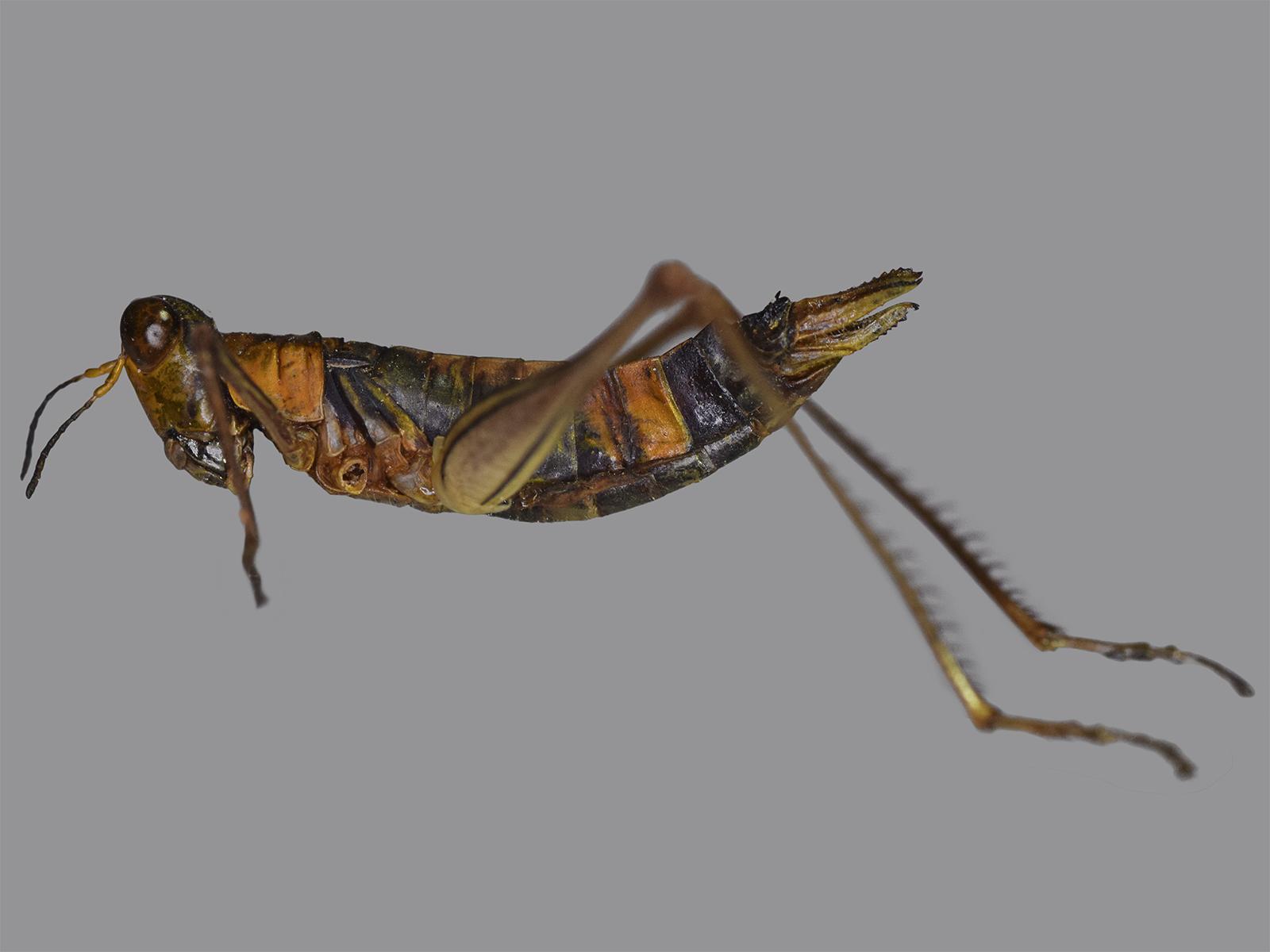 Paramastax rosenbergi (Burr, 1899)