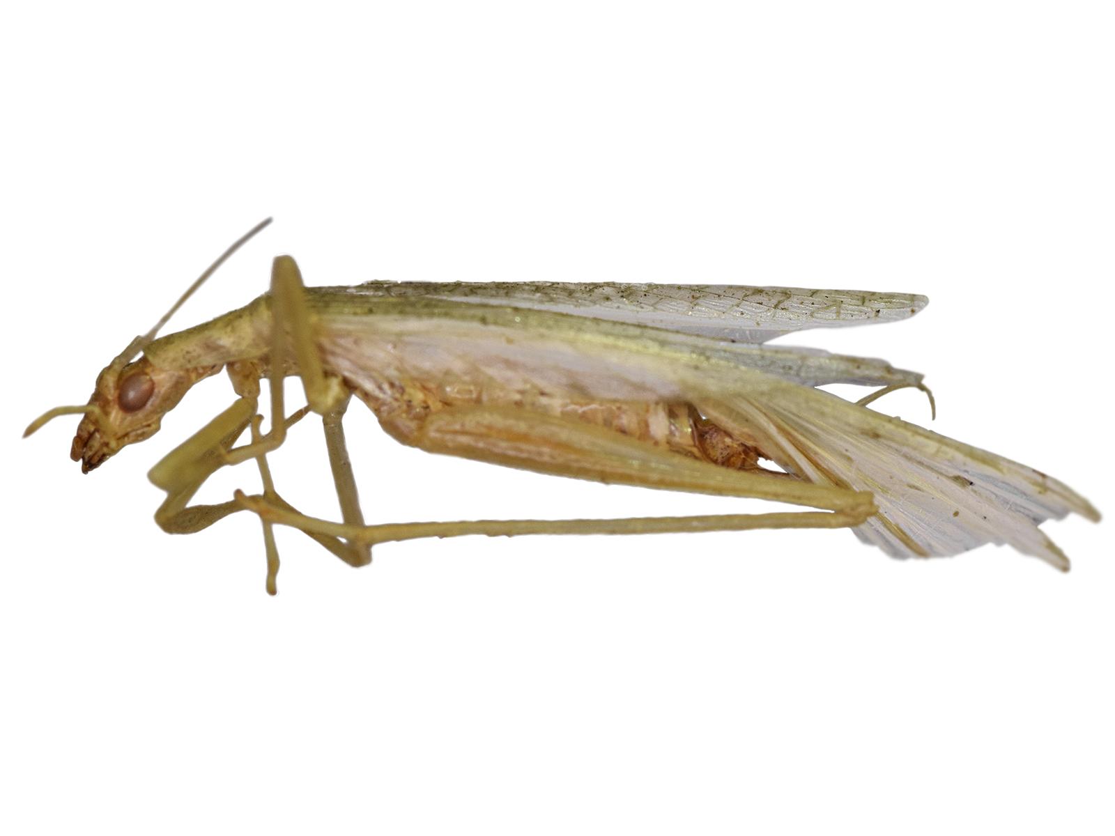 Oecanthus quadripunctatus Beutenmüller, 1894